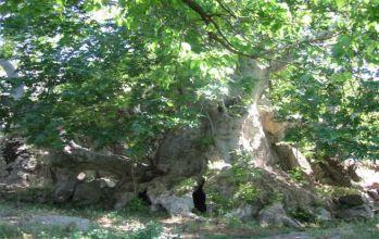 Anıt Çınar Ağacı